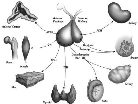 statut hormonal chez cleage